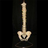 Professionelle menschliche Wirbelsäule Modell Flexible medizinische anatomische Wirbelsäule Modell