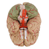 Life Size Human Brain Model w/ Arteries Medical Anatomical Cerebral Model Base Science Teaching 8 Parts