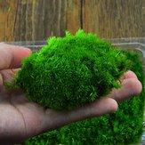 DIY Mirco Peyzaj Yosunu Bitki Doğal Yabani Leucobryum Bowringii Cam Şişe Süsleri