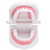 1: 1 Menschliches Dentalmodell Zähne Öffnen Schließen Modell Zahnfleisch sichtbar sichtbar Anatomische Demonstration Zahnbürste Zahnseide Lehre Medizinisches Modell