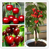 Egrow 20 Pcs/Bag Cherry Seeds Home Indoor Fruit Bonsai Dwarf Cherry Tree Seed Planting