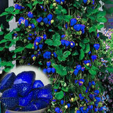 500Pcs Blue Strawberry Rare Fruit Vegetable Seeds Bonsai Edible Garden Climbing Plant