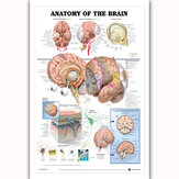 Human Anatomy of the Brain Poster Anatomical Chart Human Body Medical Education