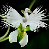 Egrow 200pcs Nasiona kwiatów japońskich Czapla biała Czapla biała Nasiona storczyków Radiata Rzadka Biała orchidea
