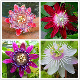 Egrow 50Pcs/Pack Passion Flower Seeds Garden Rare Passiflora Incarnata Fruit Plants Seeds