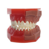 Dental Tools Medical Model Of The Dental Model Deciduous Tooth Replacement Model