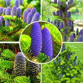Egrow 50Pcs/Pack Abies Seeds Christmas Tree Home Garden Bonsai Flower Tree Seeds Garden Plants