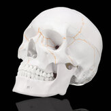 Levensgrote Human Anatomical Anatomy Head Skelet Skull Teaching Medical Model Precies