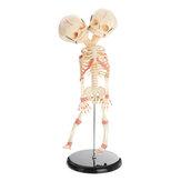 Anatomia del cranio del bambino a doppia testa scheletro anatomico cervello anatomia educazione modello Medico