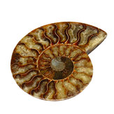 13cm Large Natural Ammonite Fossil Sea Conch Crystal Specimen Decorations