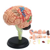 Human Brain Medical Model 4D Disassembled Anatomical School Educational Teaching Tool