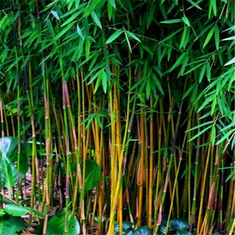 Egrow 20Pcs/Bag Black Bamboo Seeds Rare Giant Black Moso Bamboo Bambu Seeds Professional Pack Bambusa Lako Tree Seeds for Home Garden