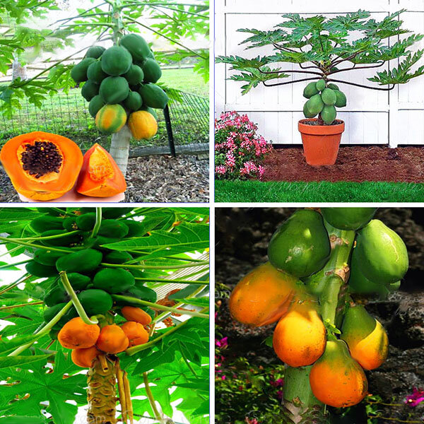 Egrow 15Pcs/Pack Carica Papaya Seeds Organic Edible Fruit Sweet Papaya Bonsai Outdoor Tree Seed