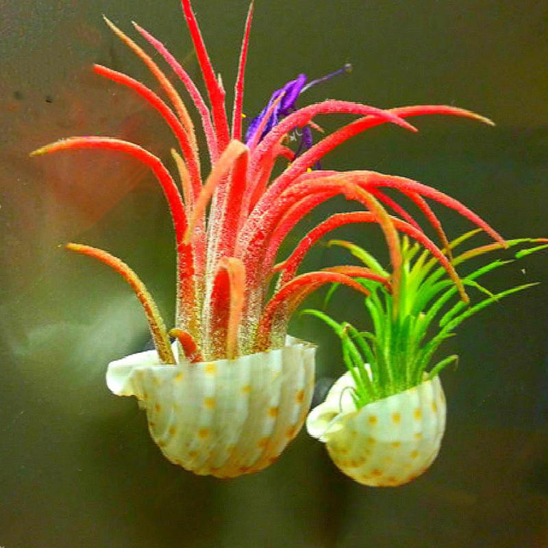 Egrow 100PCS/Pack Air Plant Seeds Cactus Jardin Bonsai Plantas Rainbow Grass For Garden Decoration