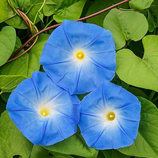 Egrow 20Pcs/Pack Morning Glory Seeds Heavenly Blue Flowers Gardening Path Decorations