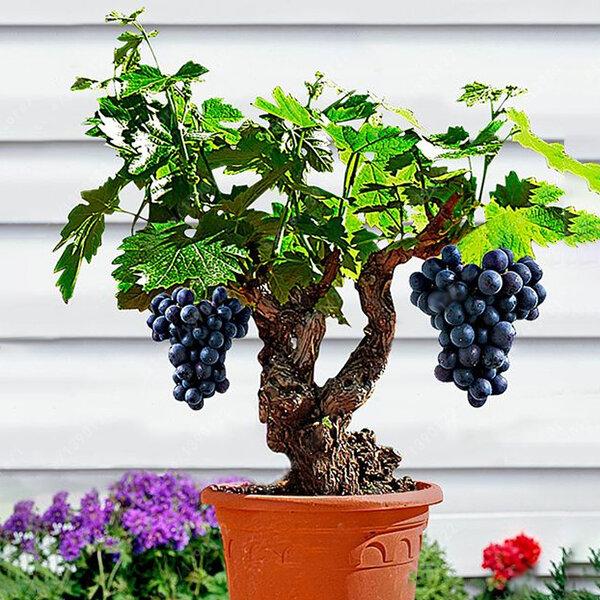 Egrow 50Pcs / Pack Vine Vine Semillas Organic al aire libre Sweet Fruit Seed Plantas suculentas Bonsai de interior