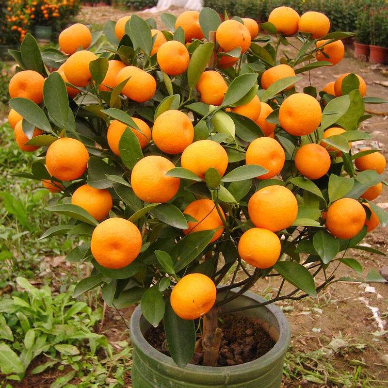 30 Adet Yenilebilir Meyve Mandarin Bonsai Ağacı Tohumlar Narenciye Tohumlar Bonsai Mandarin Portakal Tohumlar