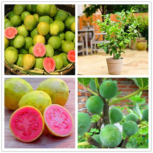 Egrow 30 Pcs/Pack Guava Seeds Tropical Sweet Fruit Tree Plants Seed for Garden Balcony Courtyard