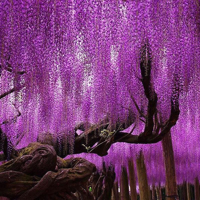 Egrow 15pcs Bag Rare Wisteria Flower Seeds Purple Wisteria