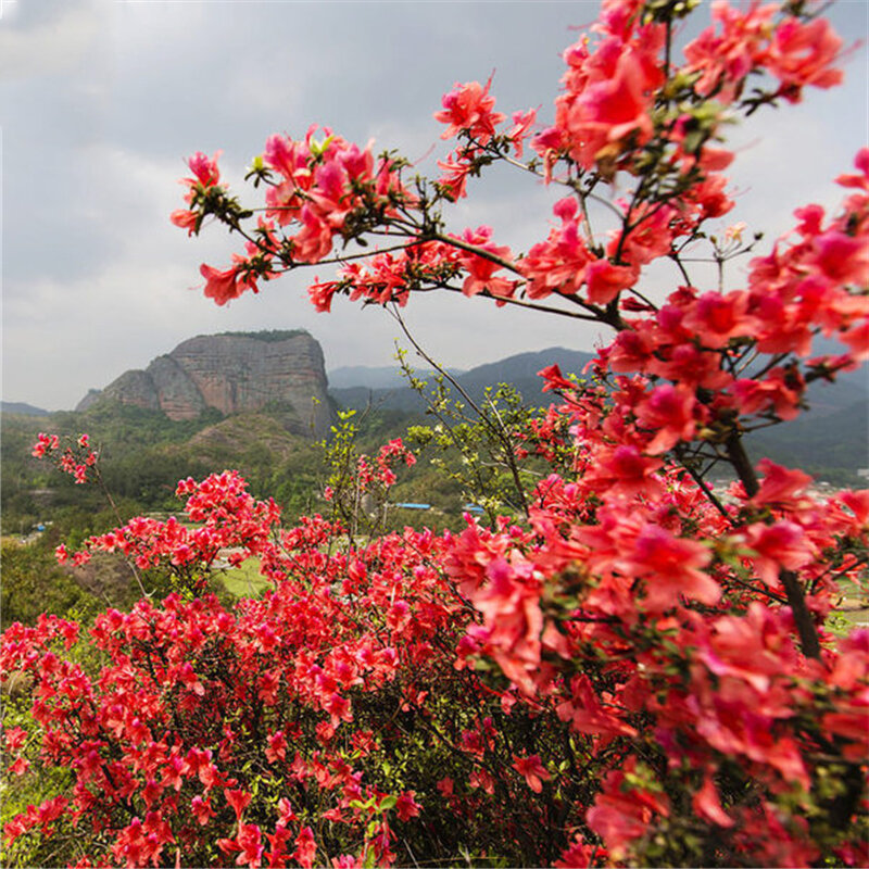 Egrow 100 Pcs/Pack Azalea Seeds Azalea Tree Plant Rhododendron Simsii Flower Seeds Home Garden Decoation