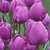 Engrow 1 pcs Tulip Seed Ball Tulip Big Ball Multicolor Hydroponic Cultivation Flower Corm