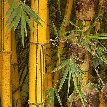 Egrow 50pcs / बैग गोल्डन बांस के बीज नई सिमेंट्स दुर्लभ गोल्डन बांस के पेड़ के लिए घर के बगीचे DIY पौधों दुर्