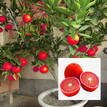 Egrow 20 Pcs/Pack Red Color Lemon Seeds Drawf Tree Bonsai Organic Fruit Seed Home Garden Plants