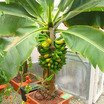 Egrow 200Pcs Garden Banana Seeds Outdoor Dwarf Fruit Trees Banana Milk Taste Perennial Potted Fruit