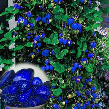 500 Sztuk Niebieski Truskawka Rzadkich Owoców Nasiona Warzyw Bonsai Jadalne Ogród Wspinaczka Roślin