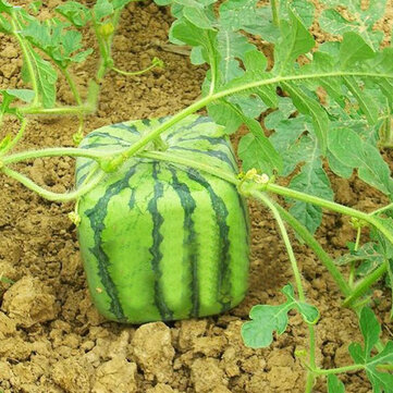 Egrow 30Pcs/Pack Square Watermelons Seeds Home Garden Simple Geometric Sweet Fruit Plants