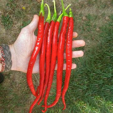 Egrow 100Pcs/Pack Red Pepper Seeds Garden Long Chili Vegetable Seeds Home Kitchen Seasoner