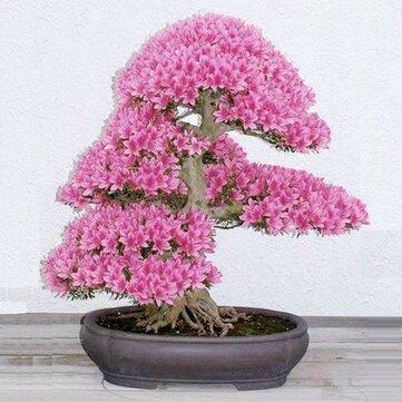Egrow 10pcs Rare Sakura Seeds Cherry Blossoms Seeds Garden Flower Bonsai Tree Sale Banggood Com
