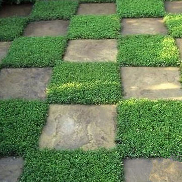 Egrow 100Pcs/Bag Ground Cover Green Seeds Herniaria Glabra Seeds Grow in Poor Soil Lawn Carpet Seeds Ground Cover Green Carpet Seeds