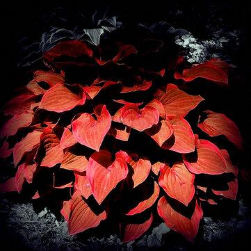 Egrow 150Pcs/Pack Hosta Flower Seeds Garden Perennials Ornamental Lily Shade Hosta Plants Seeds